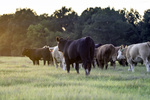 Targeted Grazing as a Tool to Combat Invasive Species